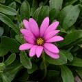 Osteospurmum 'In The Pink'