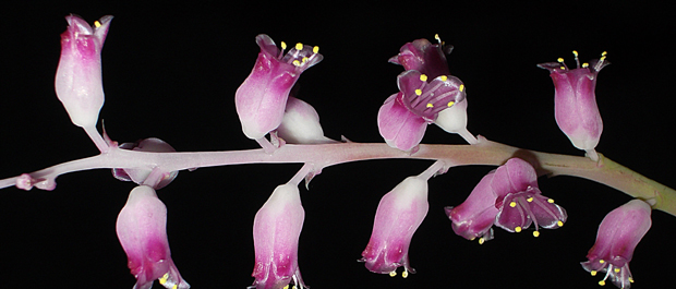 Lachenalia rosea
