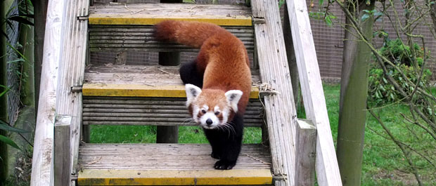 red panda Sparsholt mya banner