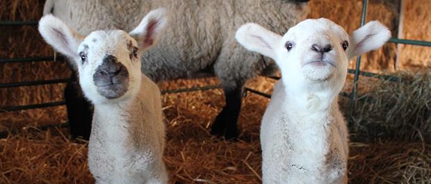 Sparsholt lambs banner