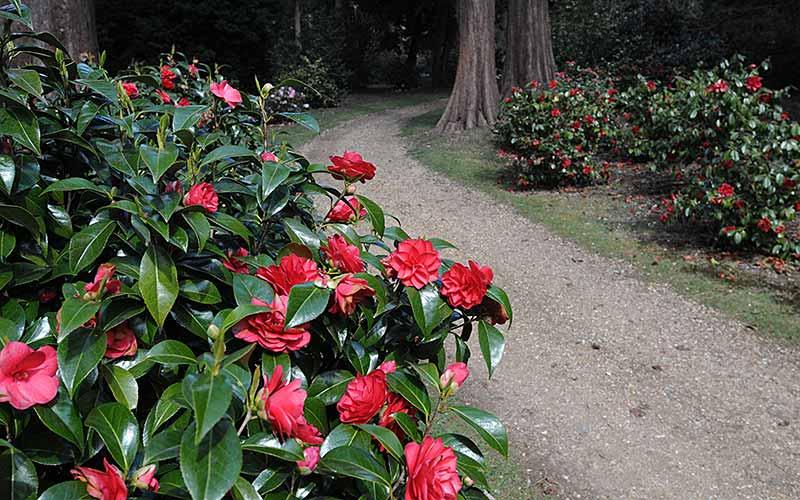 Camellia Walk