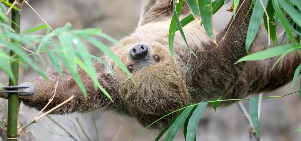 Rica, a Linne's two toed sloth at Marwell