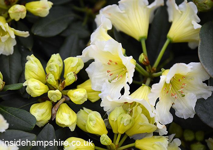 Rhododendron 'Jessica de Rothschild'